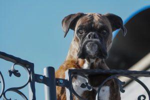 Sécurité maison : qu'en est-il des chiens de garde ?